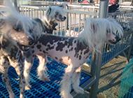 中国冠毛犬花色皮肤图片