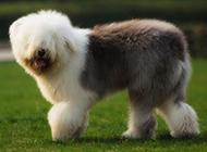 英国古牧犬户外欢乐嬉戏图片