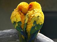 甜蜜有爱的黄鹂鸟图片