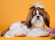 可爱的西施犬狗狗造型图片