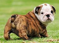 法国斗牛犬图片呆萌可爱狗狗壁纸