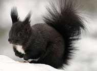 冬季机灵身手敏捷的松鼠高清图片