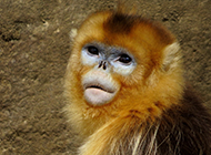 可爱金丝猴高清摄影图片