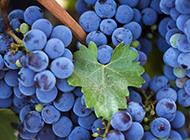 新鲜的葡萄唯美高清水果图片