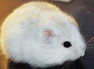 奶茶仓鼠母的图片欣赏