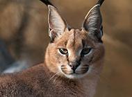 非洲狞猫图片眼神锐利锋芒
