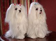 温顺可爱的马尔济斯犬动物壁纸