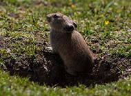 可爱机灵的小地鼠图片