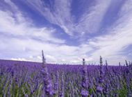 紫色薰衣草花海唯美背景壁纸欣赏