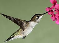 花丛中吸蜜蜂鸟图片