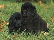纽芬兰犬黑色幼犬草地可爱写真图片