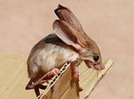 长耳跳鼠图片模样小巧