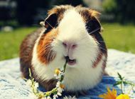 公园晒太阳的豚鼠图片大全