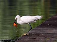 鸟类图片大全精选 池塘边捕食的聪明白鹭