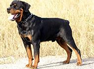 健壮凶猛的小罗威纳犬图片