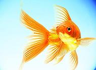 可爱的小金鱼微距特写图片