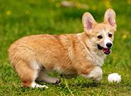 威尔士柯基犬草地玩耍图片