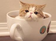 可爱而慵懒的茶杯猫图片