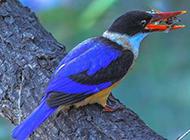 荆棘鸟站在树枝上的图片