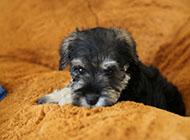 小型雪纳瑞犬聪明机警图片