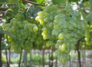 秋日果园成熟的提子水果图片