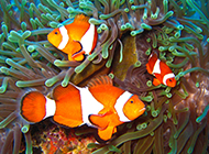 色彩斑斓的小丑鱼图片