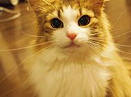 挪威森林猫卖萌百度图片