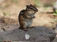 超可爱花栗鼠野外生活图片