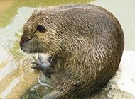 大型啮齿动物海狸鼠图片大全