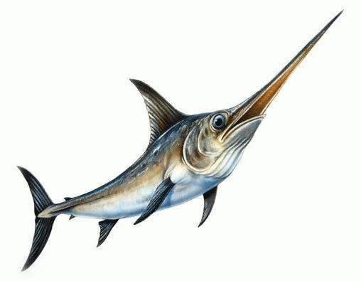 淡水剑鱼上颌锋利图片