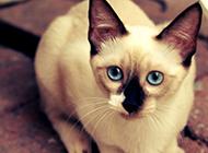 短毛猫暹罗猫图片大全