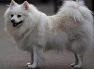 可爱狐狸犬优雅身姿图片