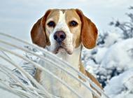威风凛凛的猎兔犬图片