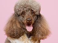 高贵的巨型贵宾犬纯种图片