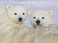 冰雪世界里的小北极熊图片