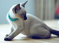 泰国猫暹罗猫机智灵活图片