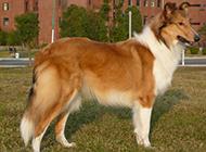 白色健壮蒙古牧羊犬图片