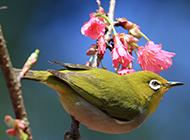 羽毛鲜艳的小黄鹂鸟图片