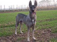 威猛霸气的狼青犬图片
