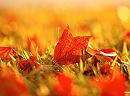 秋意盎然之枫林尽染的摄影高清图片