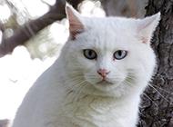 最美蓝眼白猫实拍图片欣赏
