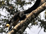 动作敏捷的海南巨松鼠图片