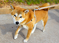 温顺的纯种秋田犬图片