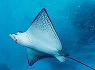 鳐鱼像风筝一样飞行图片