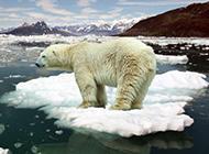 北极熊图片可爱雪地动物壁纸