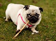 搞笑丑萌的白八哥犬图片