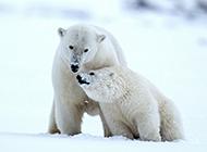 北极熊恩爱情侣的图片