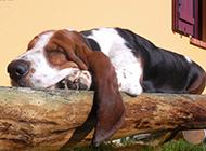 纯种巴吉度犬慵懒睡觉特写图片