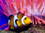 可爱迷人的公子小丑鱼图片