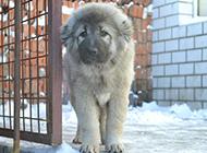 六个月高加索犬警惕表情图片